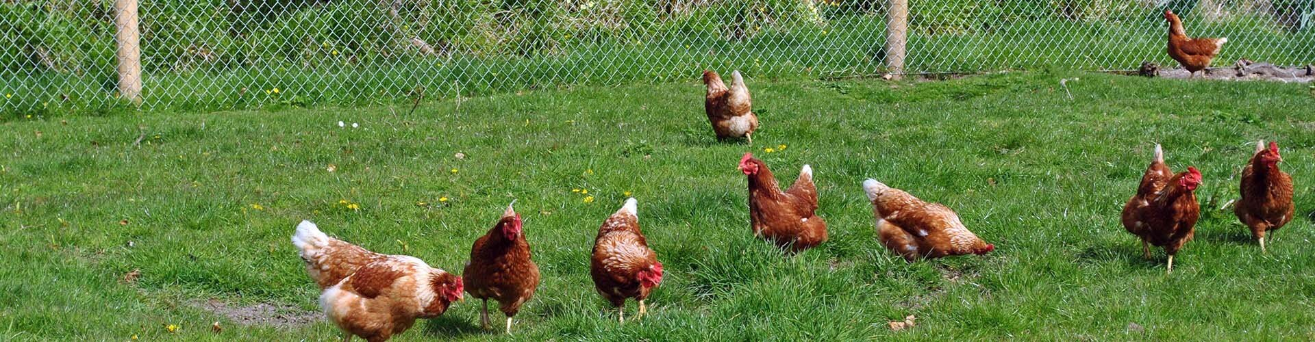 Farmyard hens at Killiane Castle